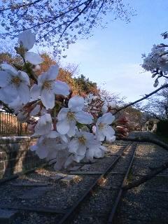 桜も見ごろですね~